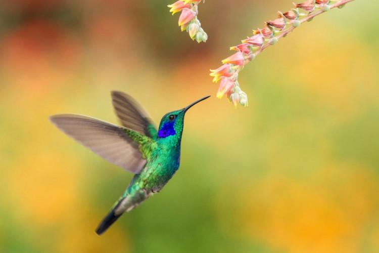 colibri fleur